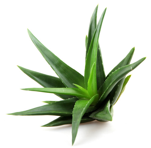 THE AMAZING BENEFITS OF THE ALOE VERA PLANT
